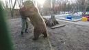 Вольная борьба с медведем