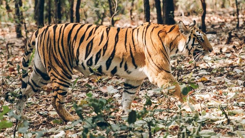Мир Приключений Фильм По следу Бенгальского тигра 4К Тигры в дикой природе Индии Бандхавгарх