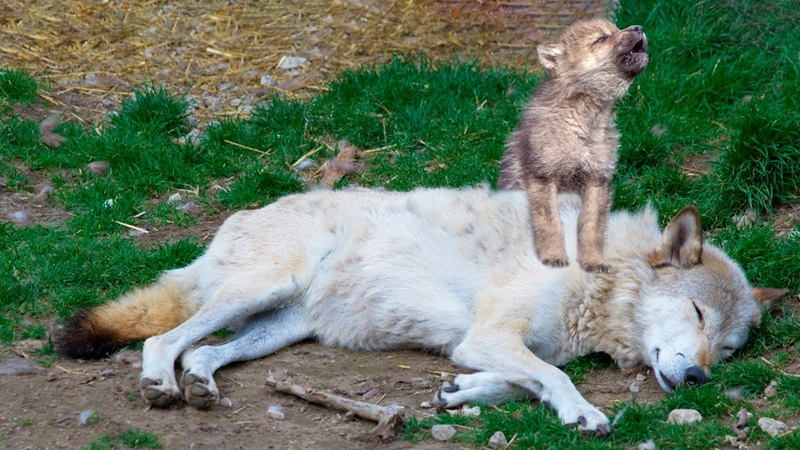 Оплакивая любимую маму волчонок уже совсем потерял надежду как вдруг он увидел лесника