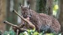 Обыкновенная рысь – необыкновенно умелый хищник! Гроза оленей, зайцев и мышей!