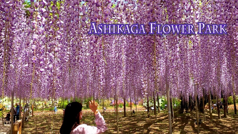 ASHIKAGA FLOWER PARK 2021, Episode-1 O-Fuji wisterias are in full bloom. 4K あしかがフラワーパーク 藤