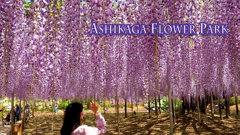 ASHIKAGA FLOWER PARK 2021, Episode-1 O-Fuji wisterias are in full bloom. 4K あしかがフラワーパーク 藤