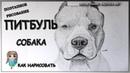 Как нарисовать собаку породы Питбуль карандашом. Рисую морду поэтапно.
