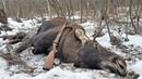 Охота на лося загоном / Moose hunting