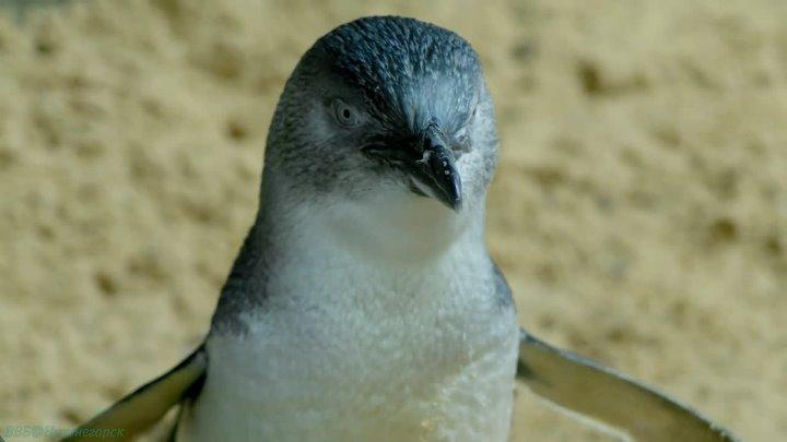 Дикие птицы Австралии 1 Малый пингвин Познавательный природа орнитология животные 2016