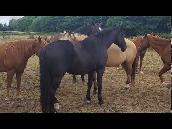 Лошади Германии, жеребцы! Животные, животный мир, Аnimals,Tiere