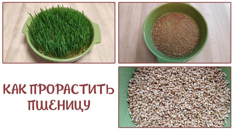 Проращивание пшеницы. Как прорастить пшеницу в домашних условиях. Ростки пшеницы.