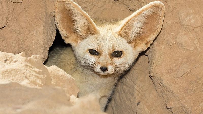 Фенек милейший хищник дикой природы Самая маленькая ЛИСА в мире Пустынная лисица