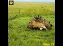 Эпичные драки животных