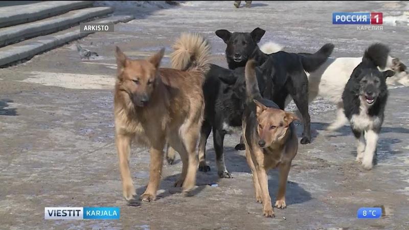 Koirat otetaan kiinni Petroskoissa