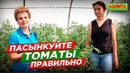 Пасынкование томатов ТОЛЬКО ТАКИМ СПОСОБОМ. Ошибки садоводов.