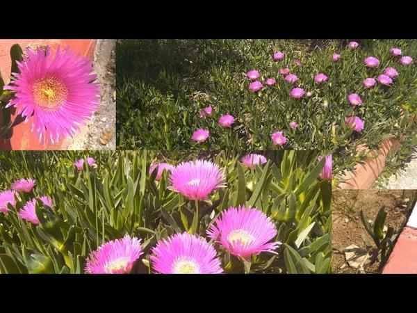 Yılan dili çiçeği mükemmel bir kaktüs bitkisi büyük çiçeği olan jetnetcomtr